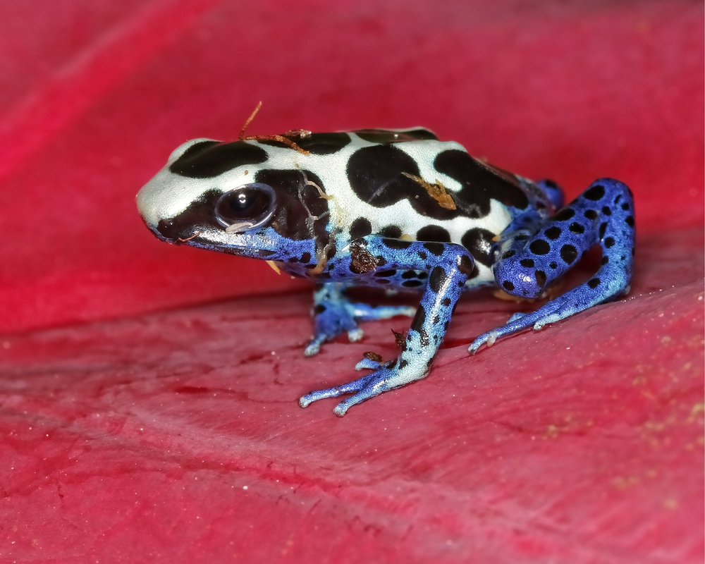 Cobalt Dart Frog…yep, the kind they make poison darts with..