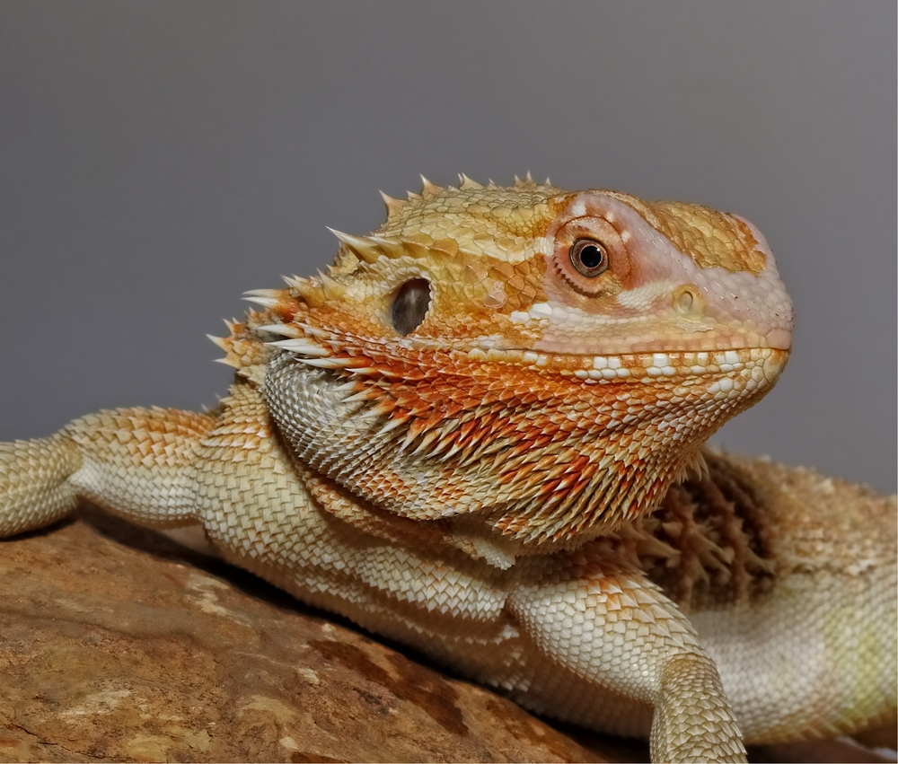 Bearded Dragon Profile