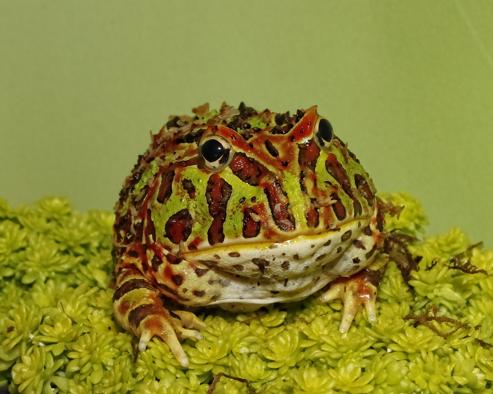Hurry up and kiss me and I turn into a handsome Prince…really! Ornate Pacman Frog