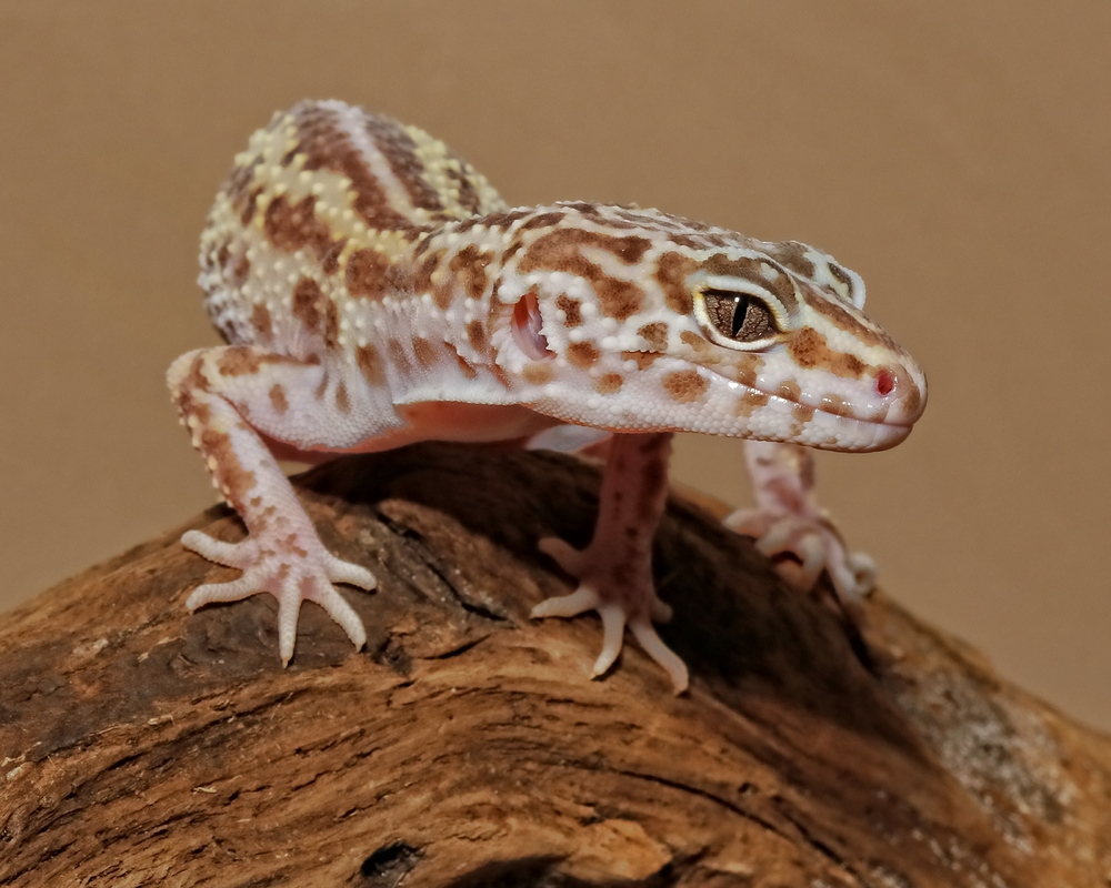 Leopard Gecko….my ancestor was a dinosaur you know..!