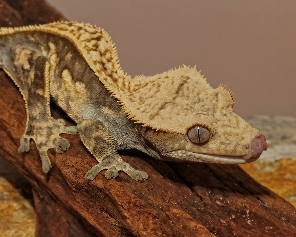 Crested Gecko…well lick my lizard lips...