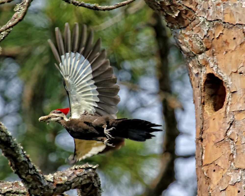 Mom then enters the nest to clean up some woodpecker pooh..then takes it away from the nest..she keeps a clean home..