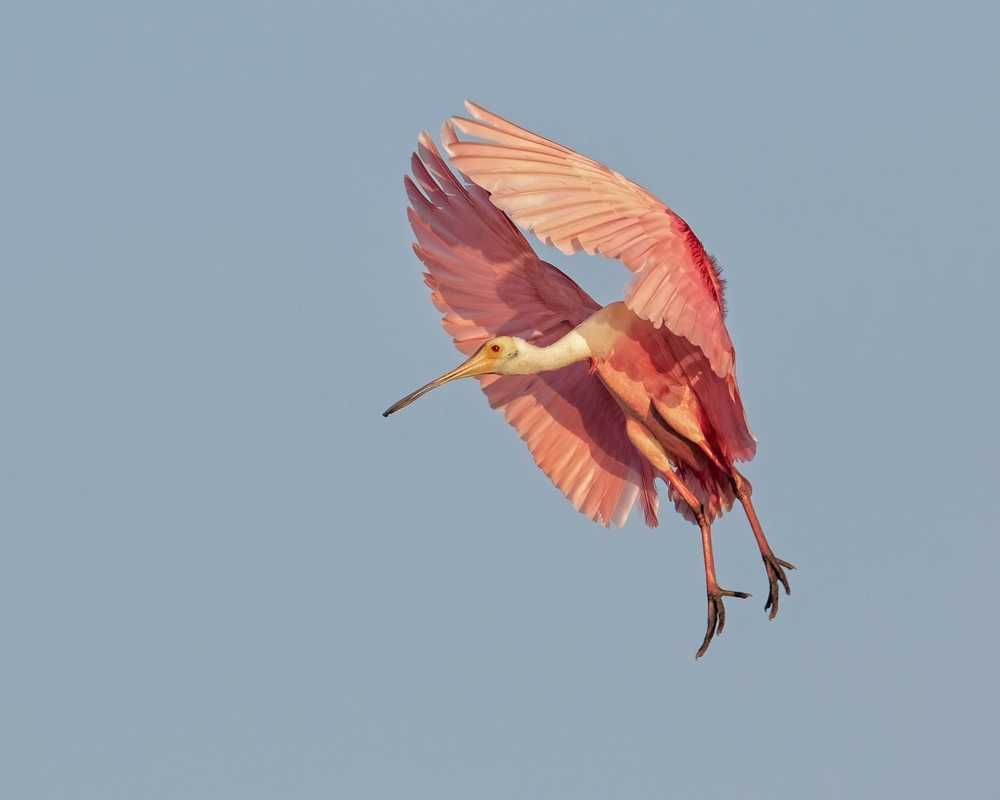 Adult Roseate Spoonbill begins its descent to the nest with a gullet full of food for the young.