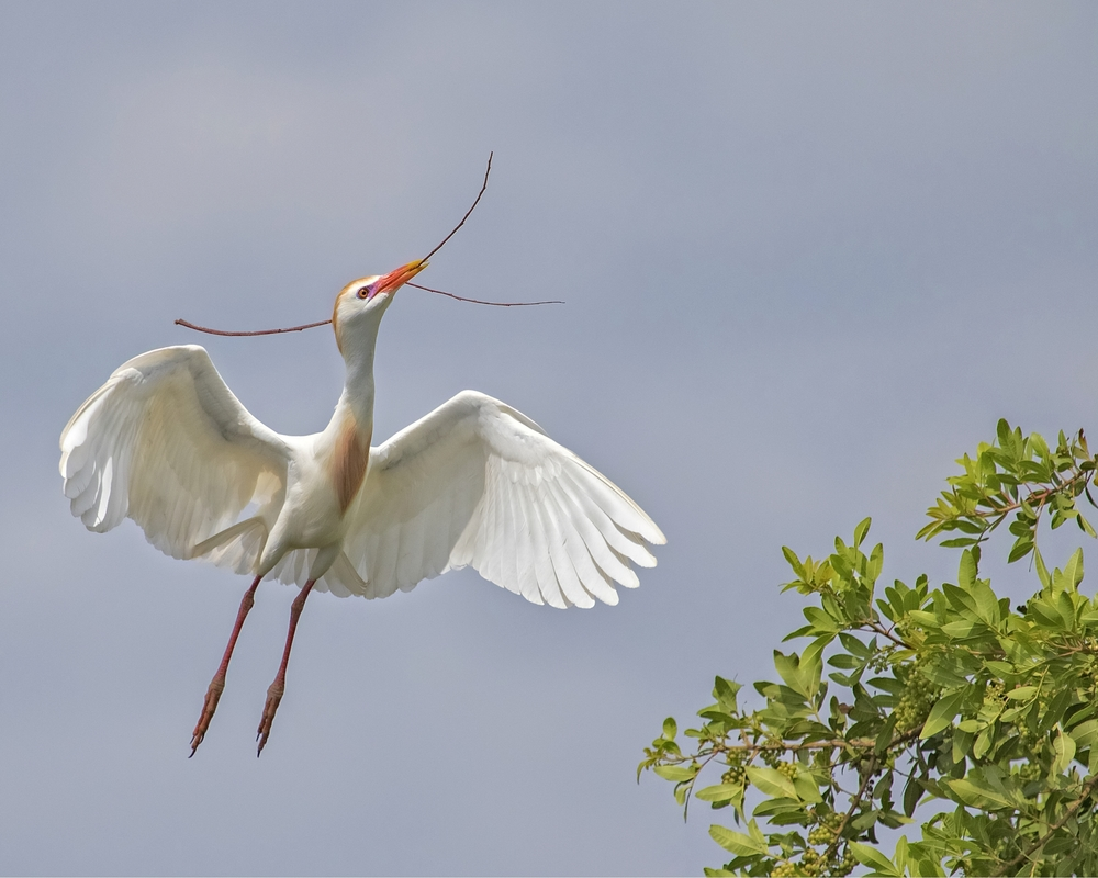 Cattle Egret busy bringing sticks..