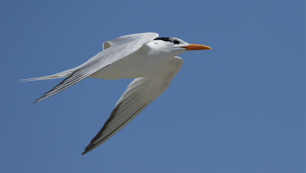Royal tern heads to ocean to catch fresh minnows and shrimp..
