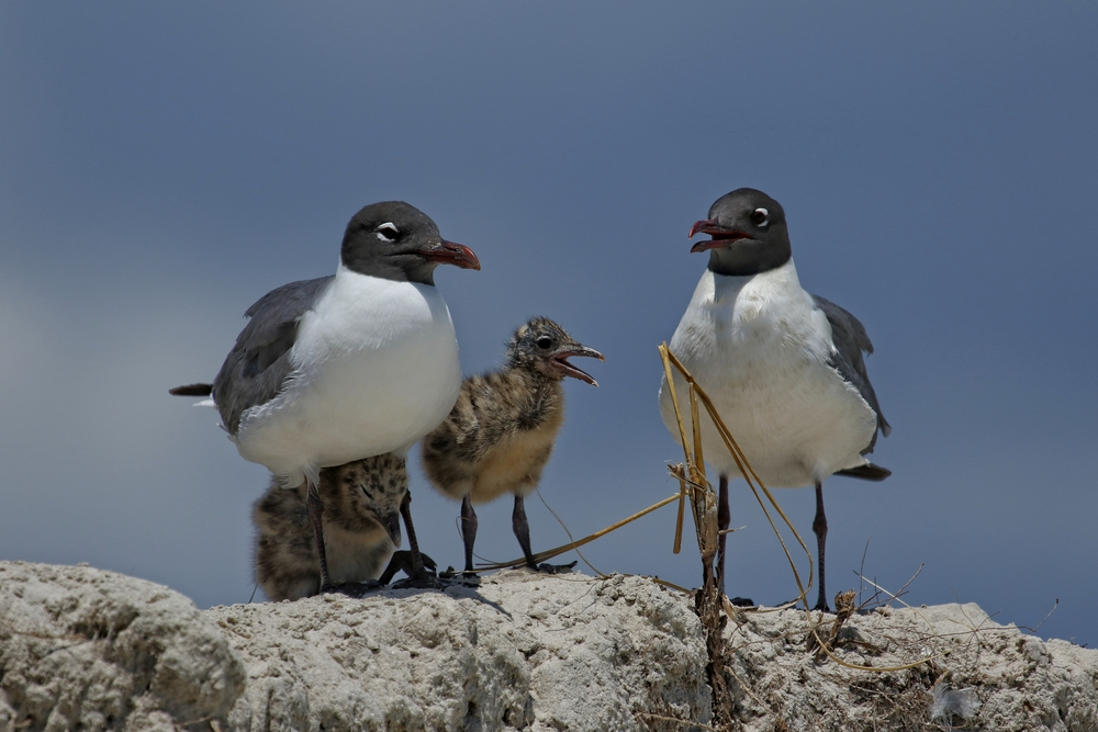 Laughing Gulls with a pair of laughing hungry chicks wait for a meal..