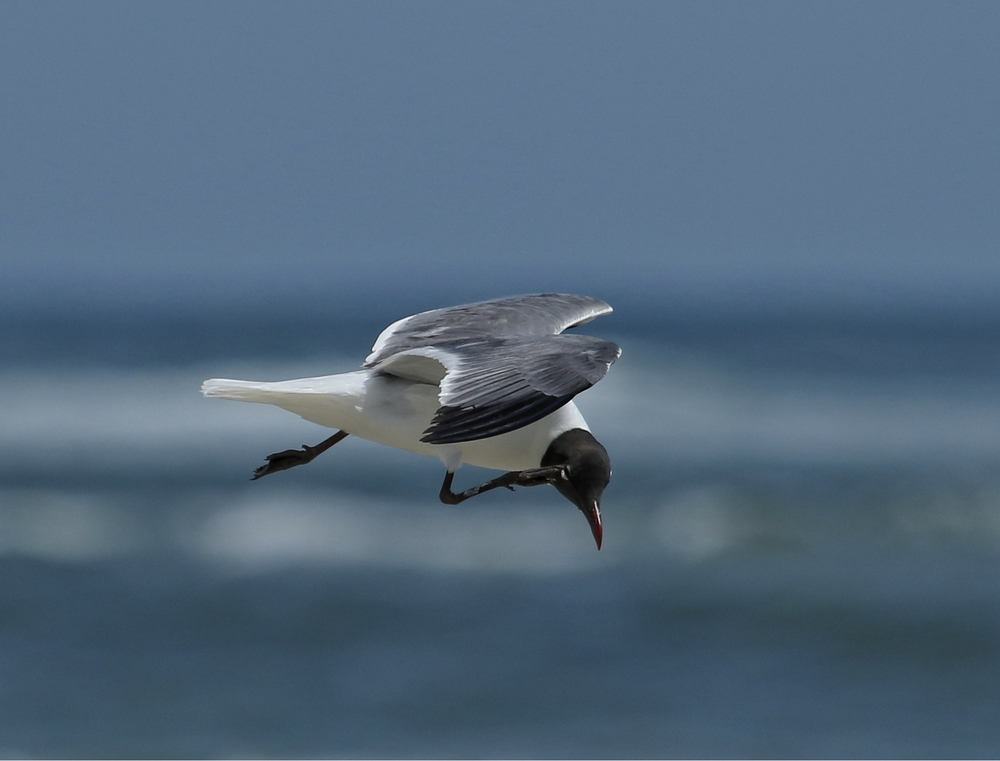 This Laughing Gull is itching to catch a fish..!