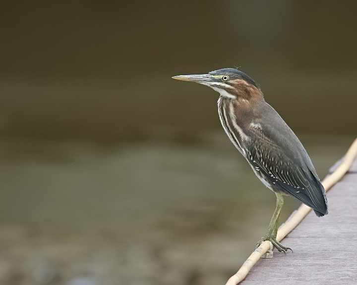 Guess who was on the dock again after my last visit to Viera? Yep..Timiquan, the Little Green Heron..