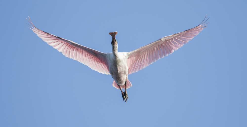 A voice in the darkness, a knock at the door,   And a word that shall echo on the Broward for evermore!      The Pink Coats, those Roseate Spoonbills are once again here on our shore! (taken from the Kayak this week!)