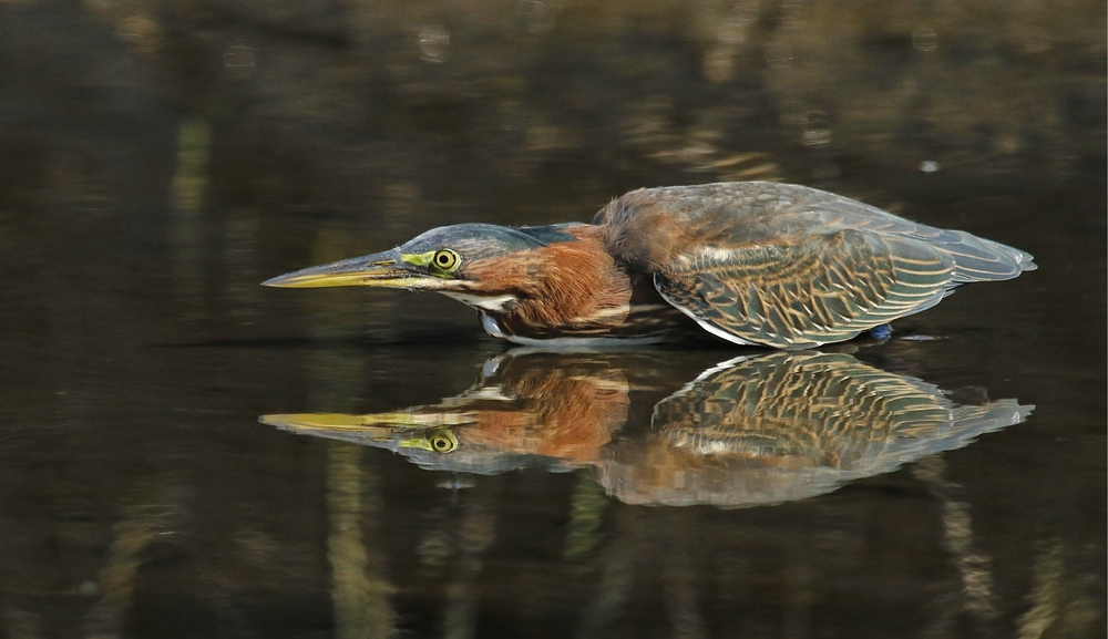 One Little Green Heron searches for minnows as the sun reflects on the muddy Broward