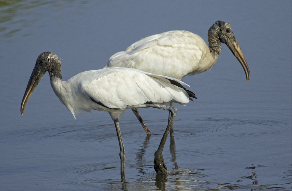 Felix returns that evening with another Wood Stork..they might not look pretty to some, this odd couple..