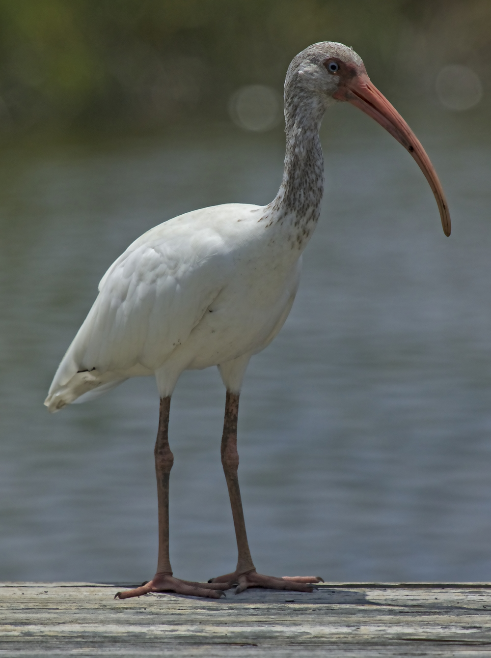 """What's in a name? That which we call a nose   By any other name could smell as sweet."".....Oscar the Ibis"