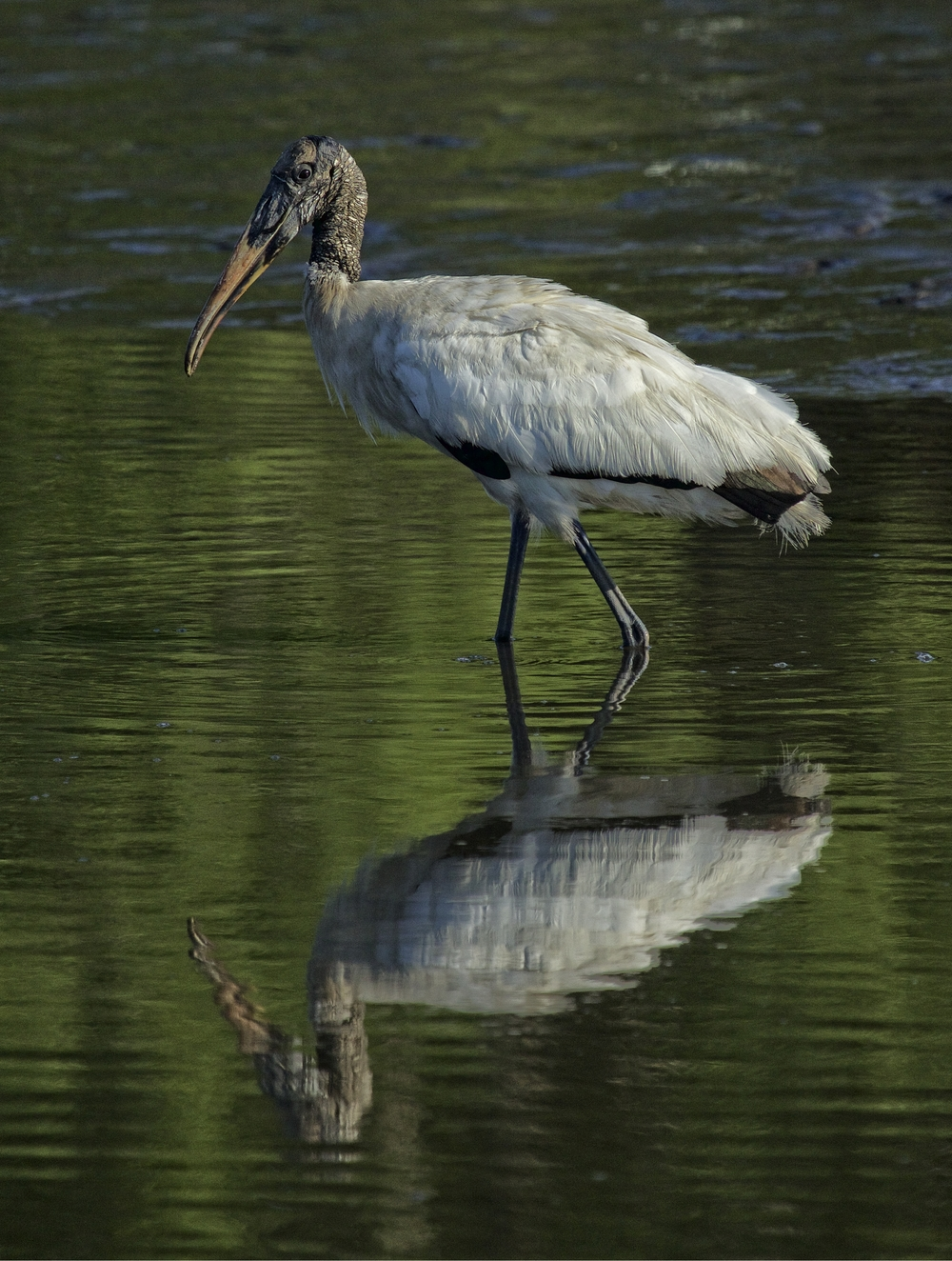 Felix the Wood Stork reflects on this odd friend of his..