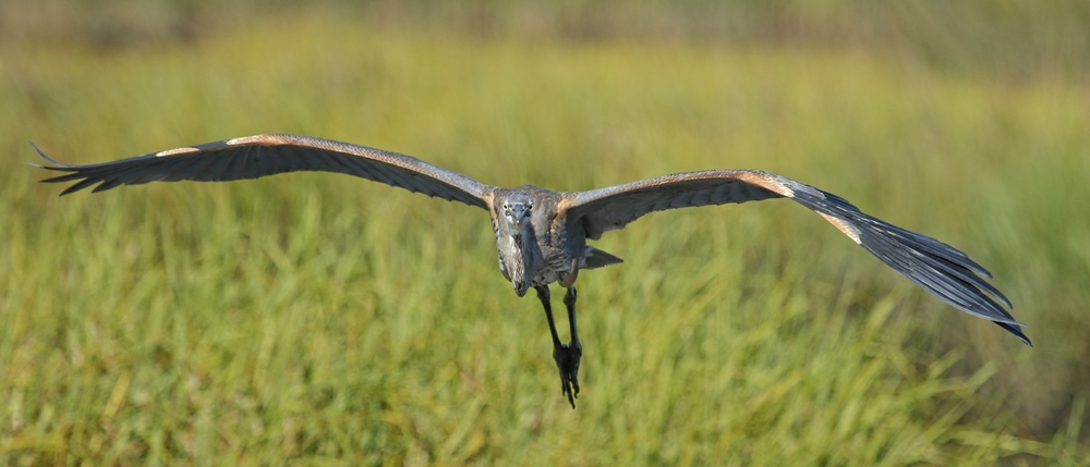 A young Great Blue Heron approaches the dock unaware I am sitting there..