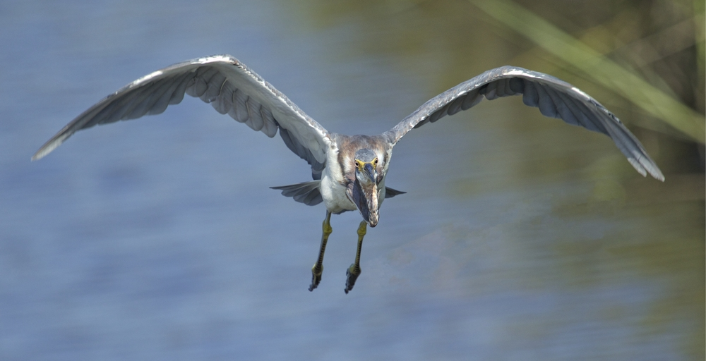 A Tricolored Heron then almost lands on me too..