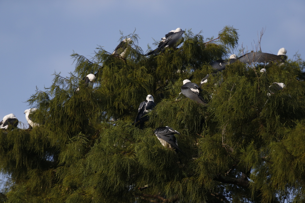 Sleepy Swallow-tailed Kites begin to stir.....there are hundreds of them in the treetops...