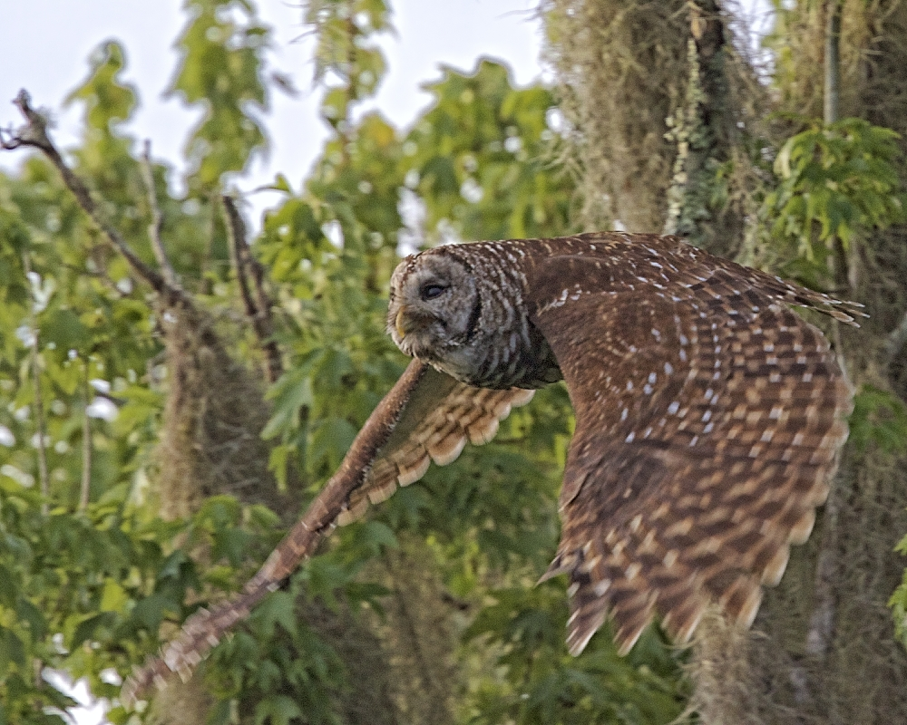 Outta here! The Barred Owls figureus out to be a ruse..