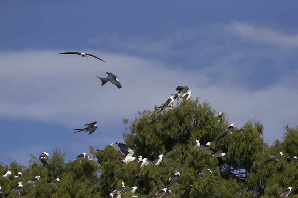 Swallow-tailed Kites returning to roost in the Cypress tops for the night..