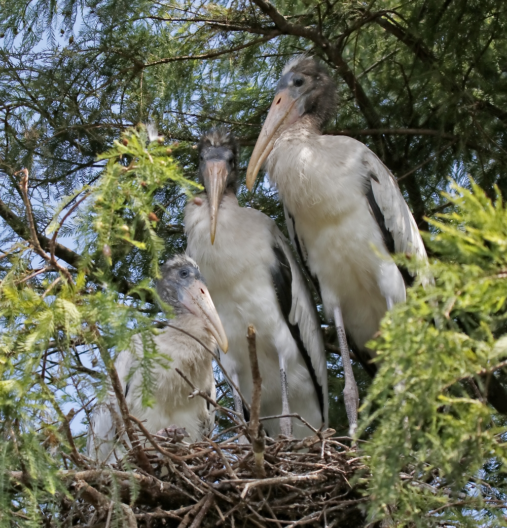 Three young fledgling Wood Storks...they don't fight like the herons..because..right now they are a hairy guy..