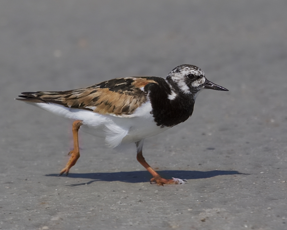 A Ruddy Turnstone has to eat too you know...