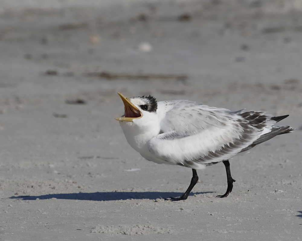 Hungry young Royal Tern fledgling calls for food...