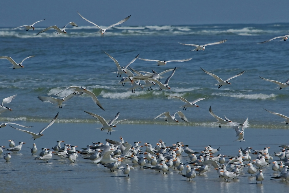 It may look like a great day to be a Royal Tern on the beach...now look closer!