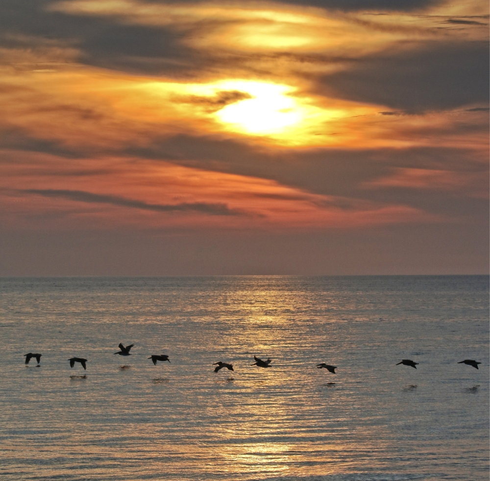 Pelicans greet the sun as another turtle excavation begins withe the Amelia Island Sea Turtle Watch organization.