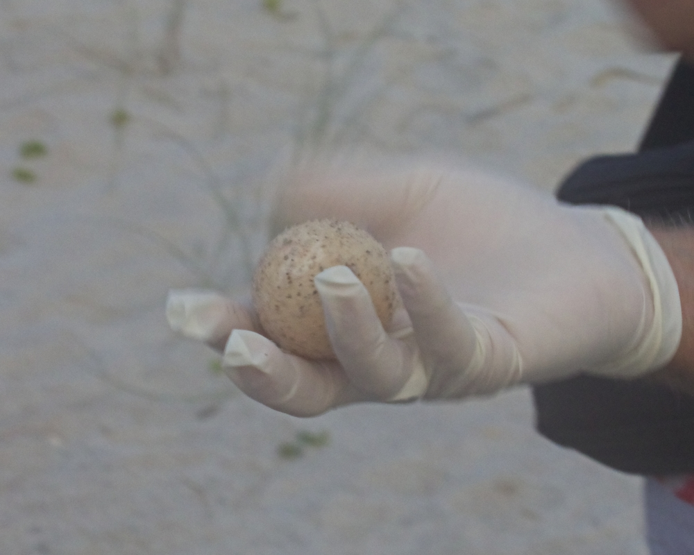 An unhatched egg is pulled from the nest. It will be reburied and hopefully hatch soon.