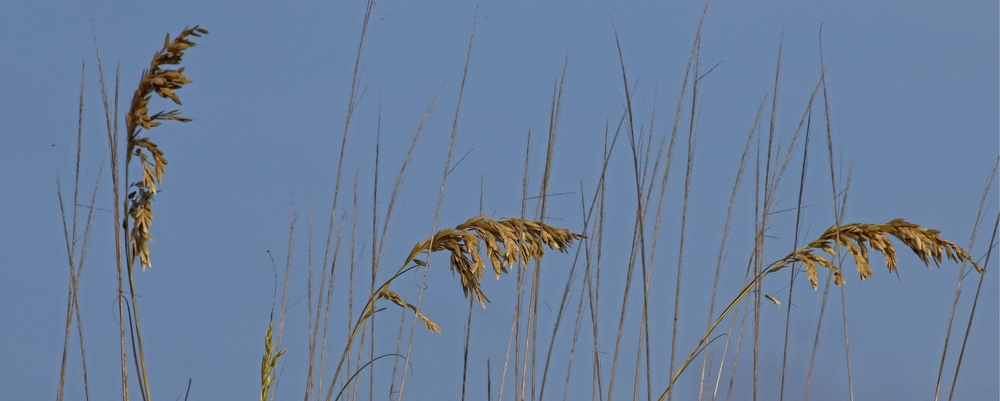 The Sea Oats are golden brown and bending in the breeze..