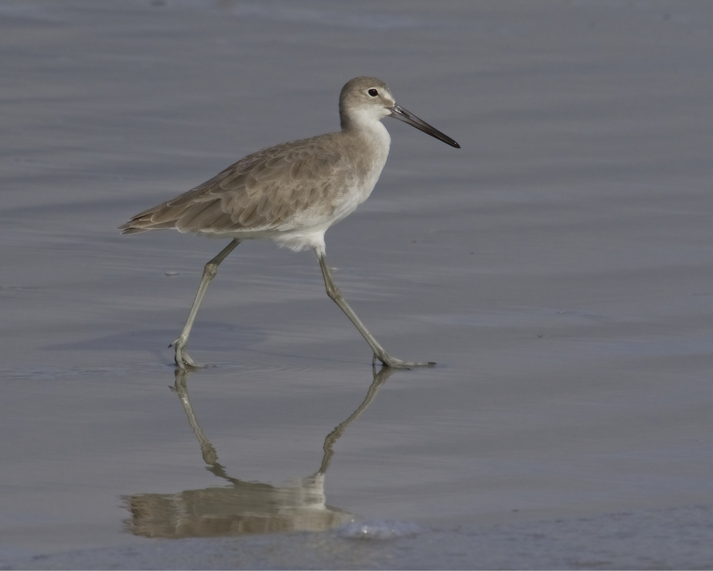 A lone Willet walks the shoreline looking for treasure....it spots me and pauses...