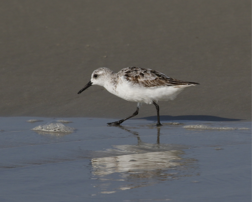 Sanderlings patrol the surf..