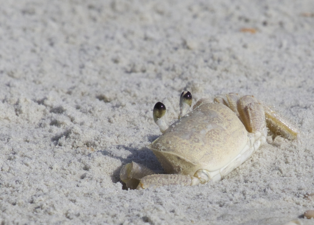 Ghost Crab keeps its eyes on me..