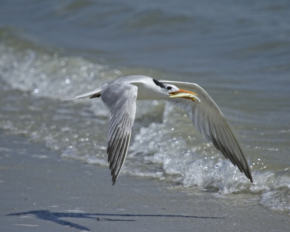 Surf fishing..Royal Tern style..