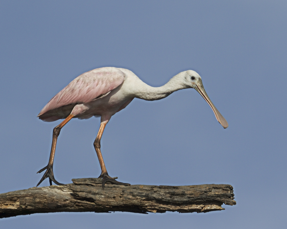 The Spoonbill gets a little nervous as I approach on the Kayak..I back off and sit..