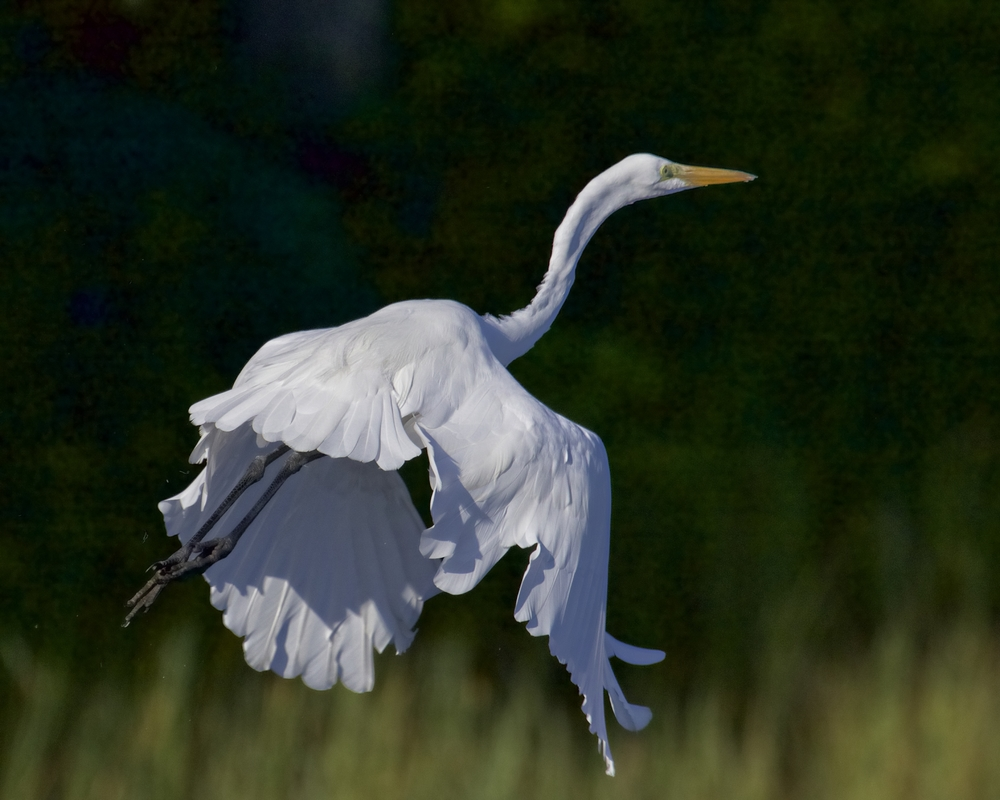 The Great Egret lifts off on broad beautiful white wings..