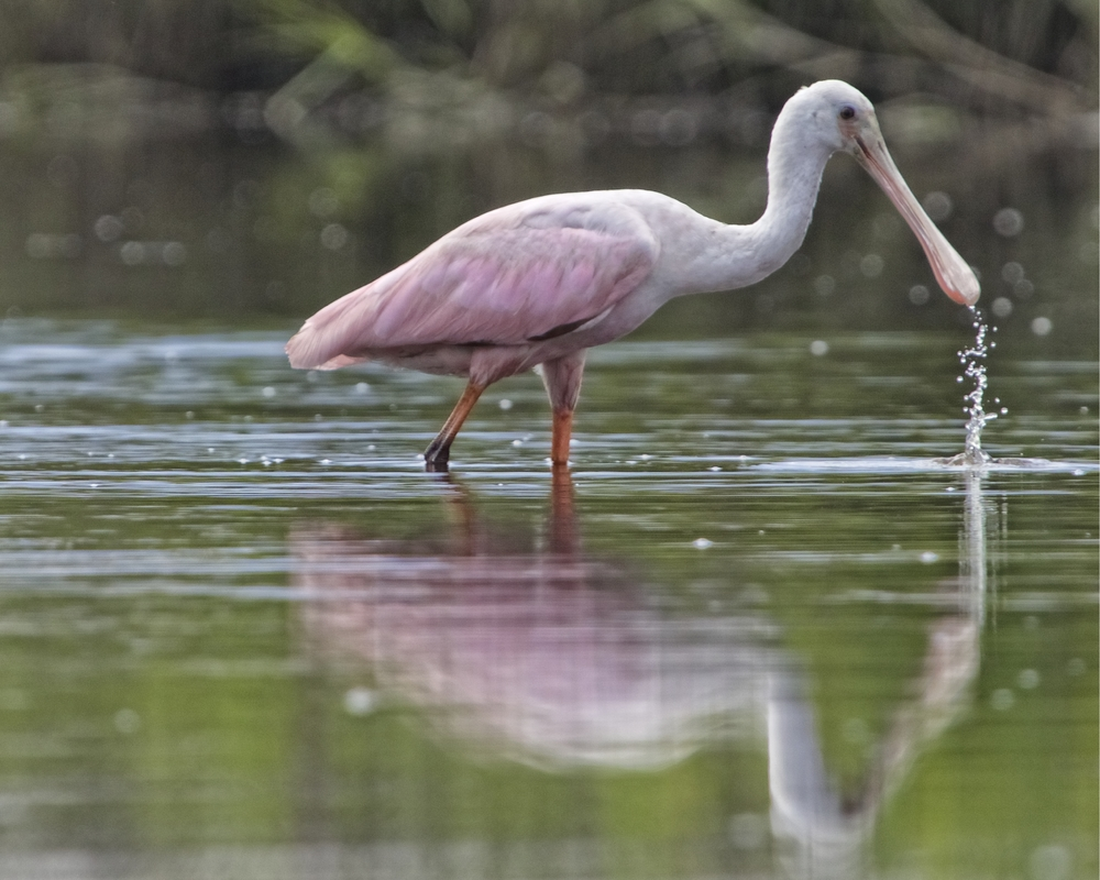 Several Roseate Spoonbills have been feeding near the dock recently..