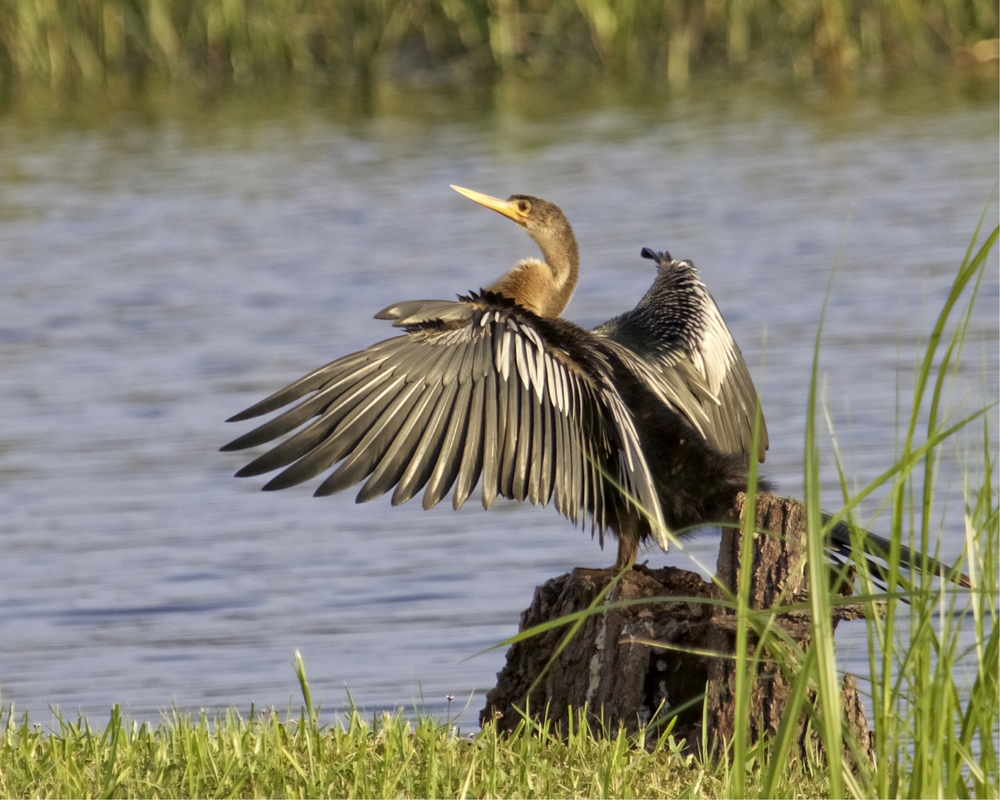 Annie the Anhinga has been a frequent visitor lately...also know as the Water Turkey or Snake Bird..