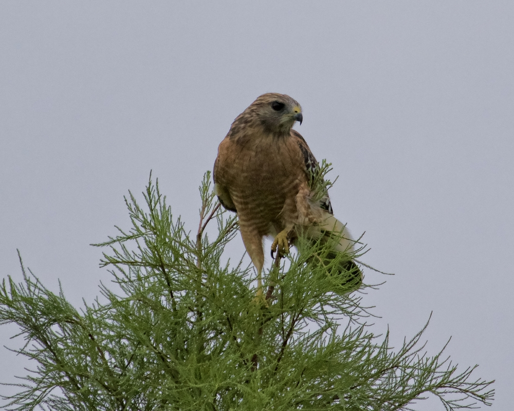 Red-Shouldered Hawk misses its prey, some Red-winged Blackbirds...