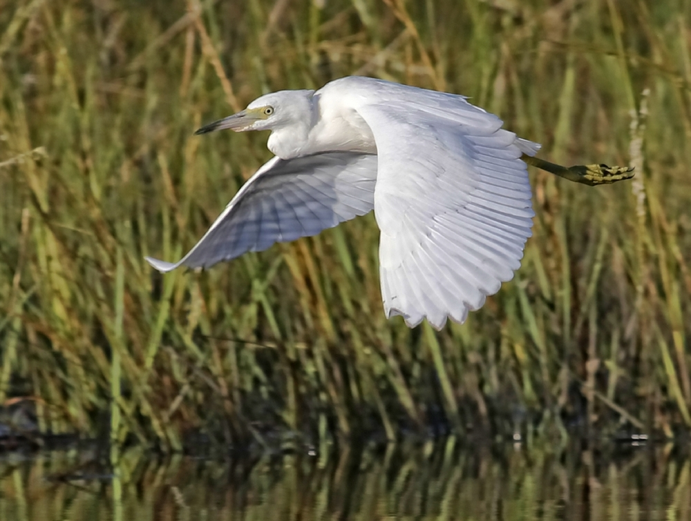 This Juvenile Little Blue Heron is often seen in the area also..
