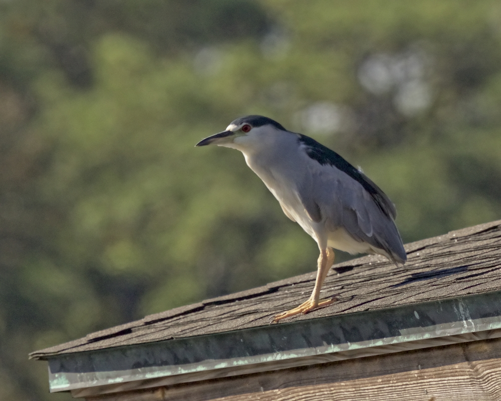 Four Black Crowned Night Herons join the dock party