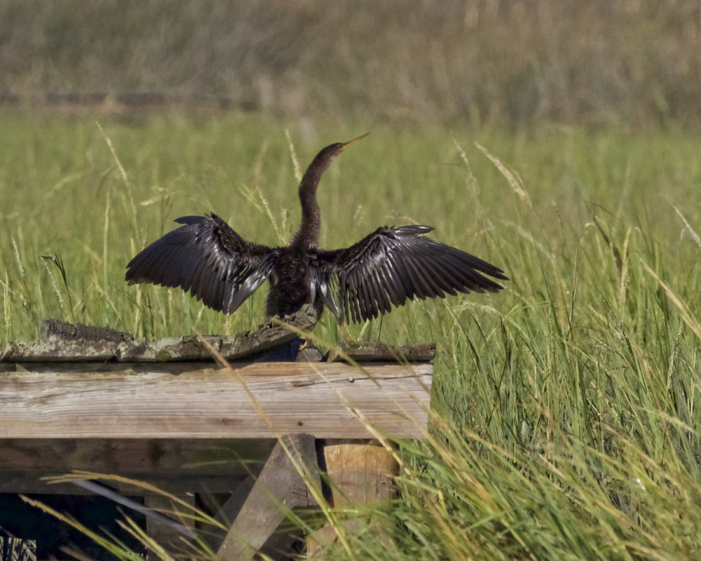 Annie the Anhinga pops up and hops on the old dock to dry out also.