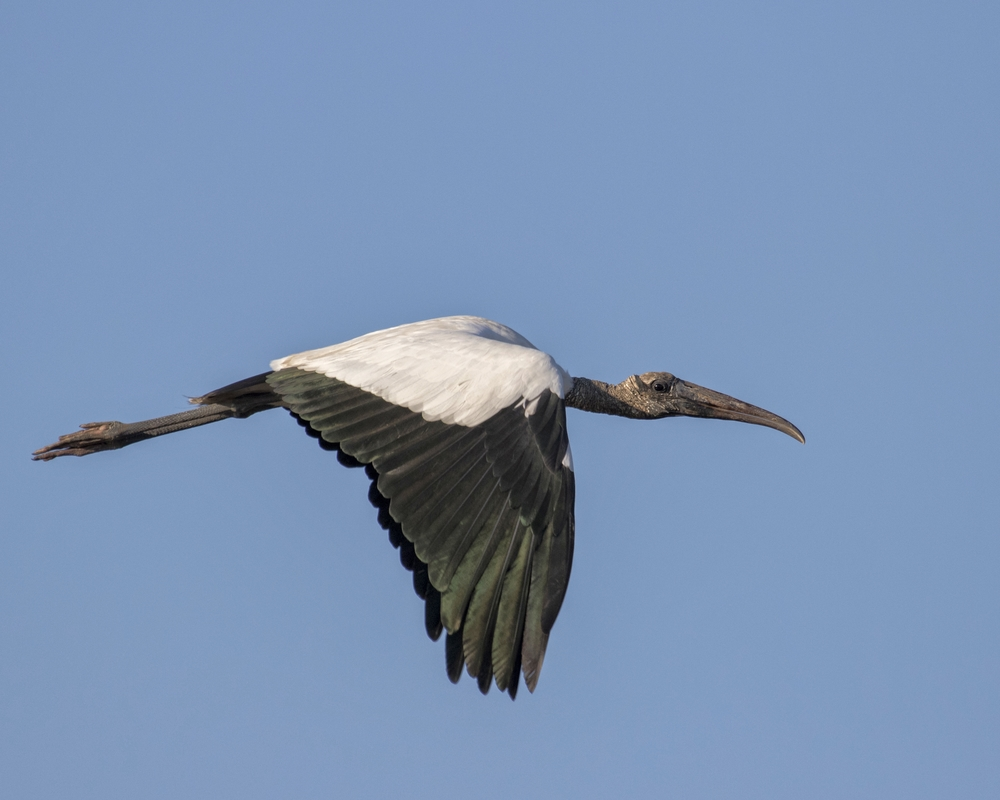 No matter how great the light..Wood Storks are just plain ugly no matter what time of day..