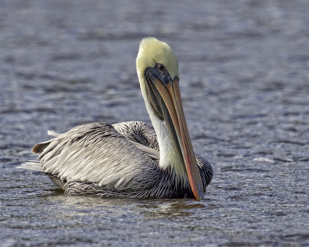 Time  marches on though on the Broward. The Brown Pelicans have arrived..