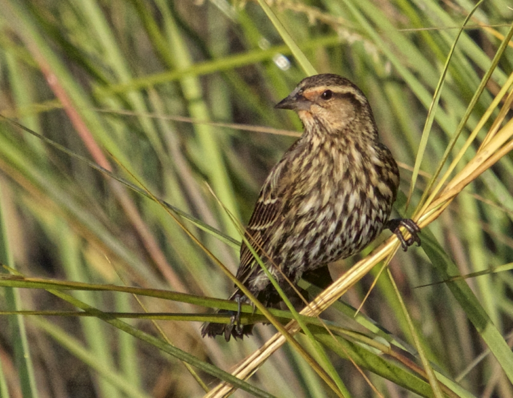 This female Red-winged Blackbird searches for seeds in the marsh grass while keeping a wary eye on the sky..