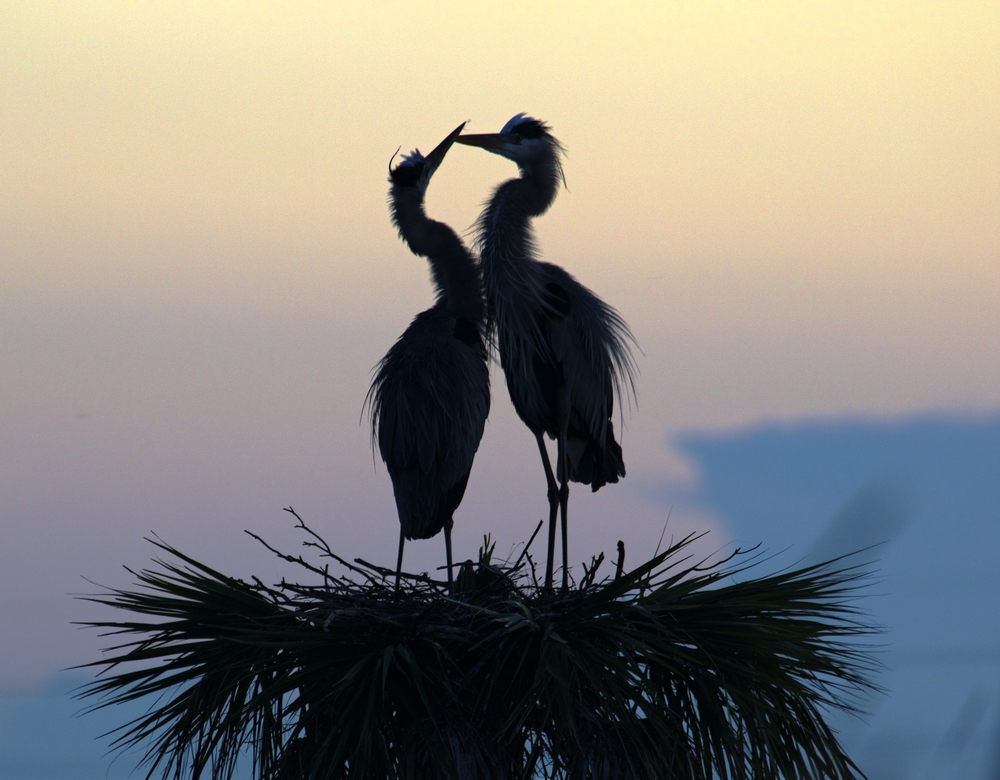 Gus and Greta, a pair of nesting Great Blue Herons greet the morning in the pre dawn light