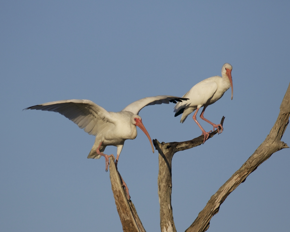 "White Ibis prepare to ""decorate"" the barren tree.."