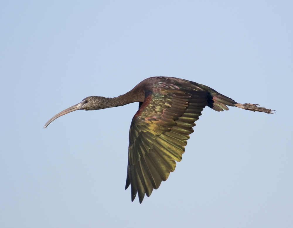 A Glossy Ibis flies off for some last minute Christmas shopping.