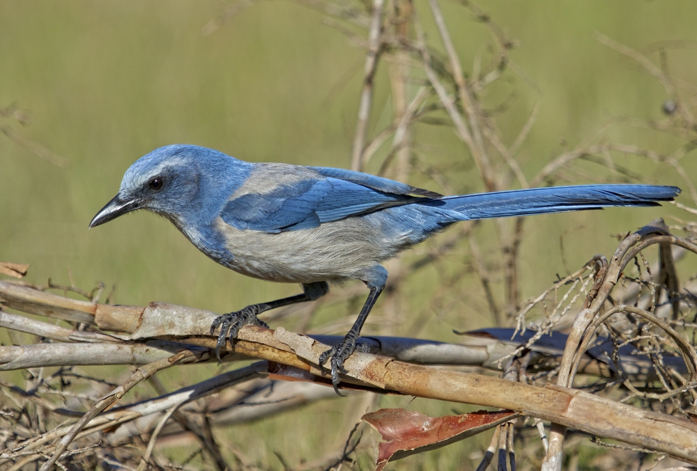 I can't help having a Blue Christmas..that's my primary color....Florida Scrub Jay
