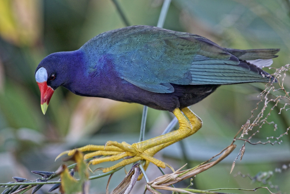 The Purple Gallinule, a member of the rail family is characterized by iridescent purple feathers, yellow legs with long toes
