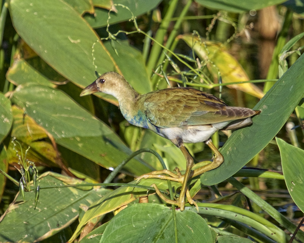 Juvenile is buffy tan instead of purple, with greenish back, dull bill, dull blue frontal shield, and yellow legs.